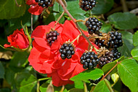 Wild Red Roses and Sweet Oregon Blackberries