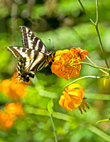 Swallowtail Butterfly, Tiger Lily