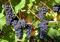 Pinot Noir Wine Grapes Ready to Harvest