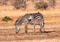 Zebra Mother and Baby