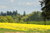 Oregon Wild Mustard Field