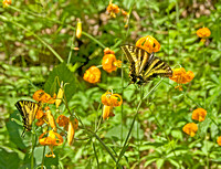Twin Swallowtails