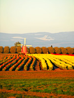Tulip Rows & Windmill