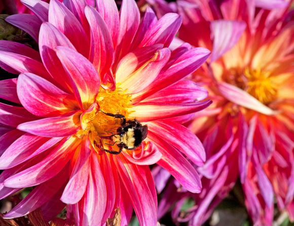 Dahlia and Bumblebee