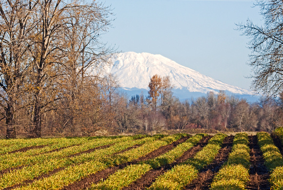 Winter Wheat & Mount St. Helens