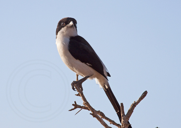 Long-taled Fiscal Shrike